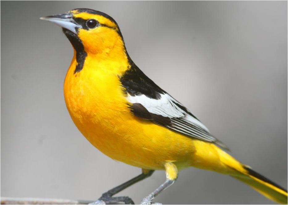 how to make an oriole feeder for sugar water